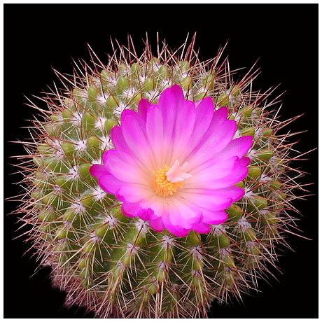 Hoa xương rồng thường nở vào tháng 2  - Hoa xuong rong no vao thang 2 - Bí kíp phong thủy giúp bạn đời chấm dứt ngoại tình bằng cây xương rồng