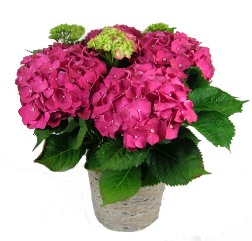 hoa cẩm tú cầu - hoa cam tu cau 1 - Những loại cây cực độc được người Việt dùng làm cây cảnh