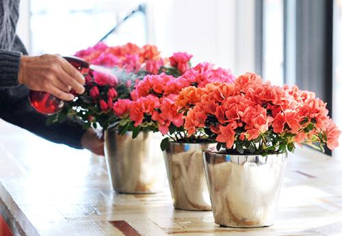 hoa đỗ quyên - hoa do quyen 1 - Những loại cây cực độc được người Việt dùng làm cây cảnh