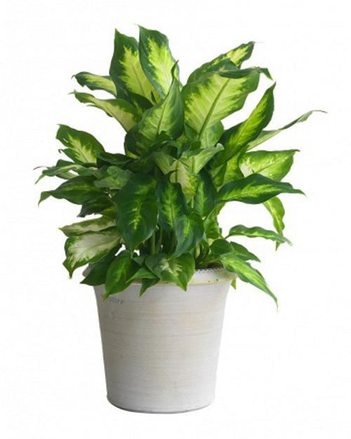 vạn niên thanh - van nien thanh 1 - Những loại cây cực độc được người Việt dùng làm cây cảnh
